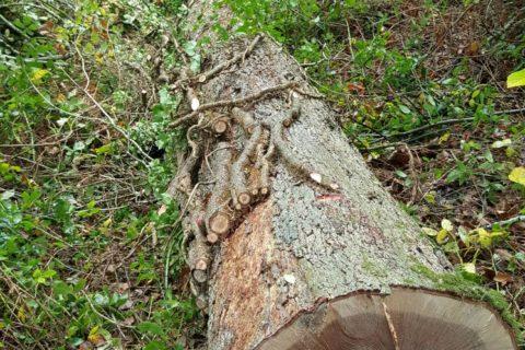 tregothnan oak logs