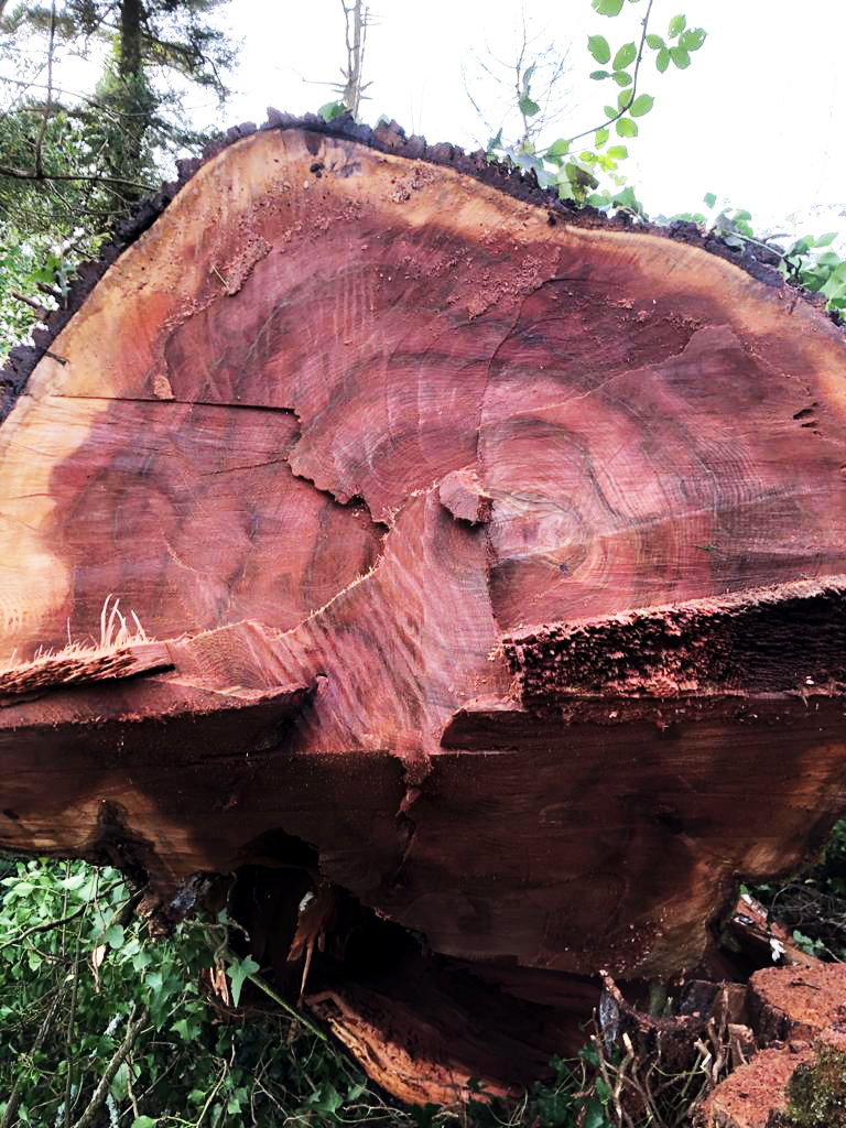 Witch Elm tree for Aspen and Ash